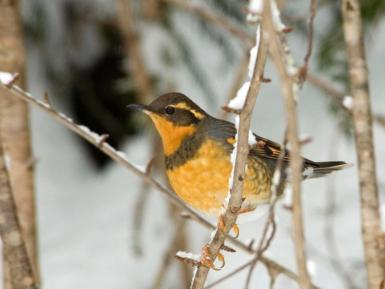 Varied thrush. From the Park's website.