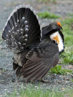 Male sooty grouse. From the Park's website.