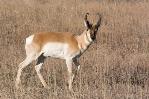 Pronghorn Antelope. From the Park's Facebook page.