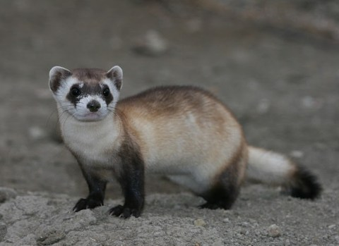 Black-footed ferret. Photo by J. Michael Lockhart / USFWS. From Wikipedia.