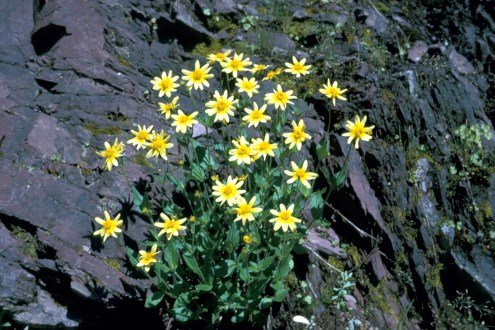 Arnica. From the Park's website.
