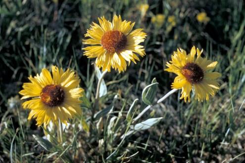 Blanket Flower. From the Park's website.