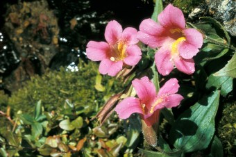Monkey Flower. From the Park's website.