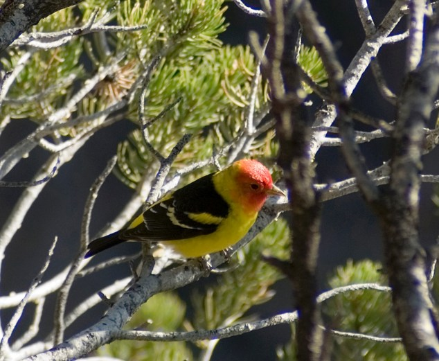 Western Tanager. From the Park's website.