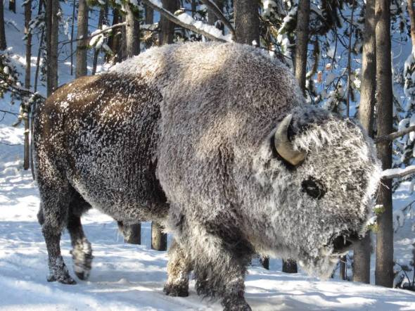 When temperatures Yellowstone National Park dropped below freezing last week, this bison woke up with a frost blanket. The bison's heavy fur is perfectly adapted to winter conditions. Photo: Tim Townsend. Posted by the US Department of the Interior, 11/15/13.