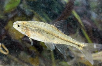 The U.S. Fish and Wildlife Service today proposed to remove the Oregon chub from the list of Endangered and Threatened Wildlife under the Endangered Species Act. If finalized, the chub would be the first fish delisted due to recovery. The Oregon chub, a small minnow found only in the Willamette River Basin in floodplain habitats with little or no water flow, was listed as endangered in 1993 and reclassified as threatened in 2010. The primary factors that threatened Oregon chub were loss of habitat and predation by nonnative fishes. These threats have been lessened over the last 20 years through collaborative partnerships to restore and acquire habitat, promote natural water flows, and conduct education and outreach to local landowners and residents; efforts that were accompanied by the reintroduction of chub into historical habitat. Posted by the US Department of the Interior on 2/4/14.