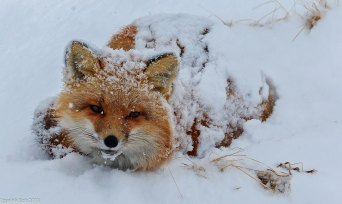 Snow is a great insulator. So is fur— something this red fox certainly must appreciate! This fox was photographed on the The Alaska Peninsula and Becharof National Wildlife Refuges, which were established to conserve fish and wildlife populations and habitats in their natural diversity, including brown bears, the Alaska Peninsula caribou herds, moose, sea otters and other marine mammals, salmon, shore birds and other migratory birds, and raptors, including bald eagles and peregrine falcons. Photo: Bob Dreeszen. Posted by the US Department of the Interior on Tumblr, 2/6/14.