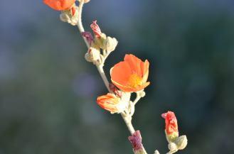 Apricot Mallow 05