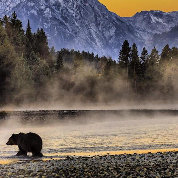 A grizzly bear crossing the Snake River at sunrise. Photo: Donald Higgs. Posted on Tumblr on 1/15/14.