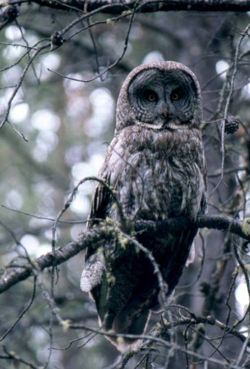 Great Gray Owls are the largest owls in North America measuring about 32'' in height. Since they are mostly nonmigratory we will be seeing these gray giants swooping down on prey throughout the upcoming winter. From the Park's Facebook page.