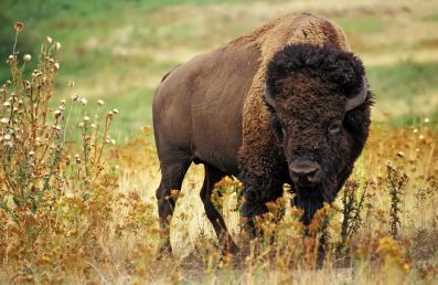 Bison. From the Park's Facebook page.