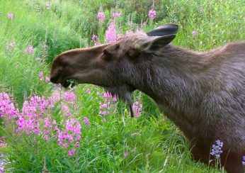 Moose cow eating fireweed. From the Park's Facebook page.