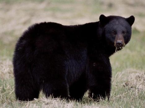 Black Bear. From the Park's website.