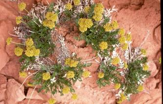 Lomatium latilobum, a.k.a. Canyonlands biscuitroot. From the Park's Facebook page.