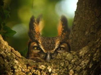 "Great Horned Owl, female. Photo by Dennis Demcheck, a U.S. Geological Survey (USGS) employee. He snapped this great photo of the owl nesting in a Live Oak tree. Here's what he had to say about it. ""She was 'staring me down' because she had eggs to protect. It was taken in southwest Louisiana in the Mermentau River Basin near the town of Thornwell."" Posted on Tumblr by the US Department of the Interior, 3/22."