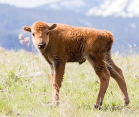 One of the first calves of the year at Montana's National Bison Range. Tweeted by the US Department of the Interior on 4/21/14.