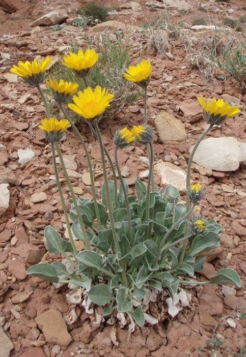 Naked Stem Sunrays (Enceliopsis nudicaulis) grow in clay soils, mixed desert scrub, and pinyon juniper communities. It is common along Highway 24 east of the visitor center and the scenic drive. From the Park's website.