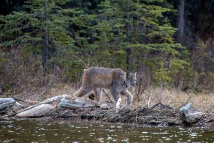 Lynx, in Denali National Park. Tweeted by the US Department of the Interior, 5/29/14.