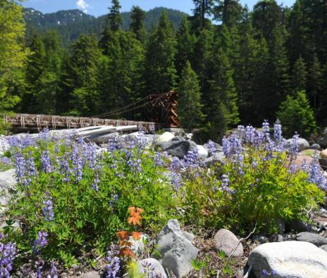 While Mount Rainier's subalpine meadows slowly emerge from winter snowpack, wildflowers already bloom in lower elevation areas. These Lupine flourish among the rocks near the Nisqually River, with the Longmire Bridge in the background. From the Park's website.