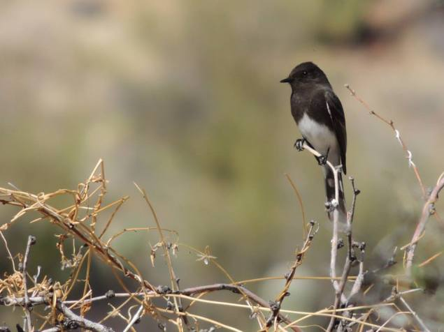 Black Phoebe. From the Park's Facebook page.