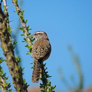 Cactus wren, the state bird of Arizona. From the Park's Facebook page.