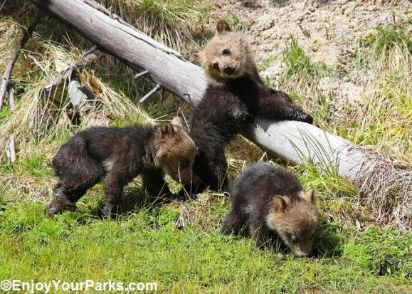 Grizzly triplets, born February 2014 in Yellowstone National Park. Posted on the Park's Facebook page, 5/21/14.