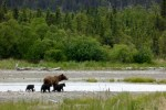 Katmai NP Spring Cubs