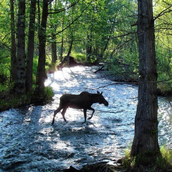Moose crossing Campbell Creek in BLM-managed land in Alaska. Photo: Doug Ballou. Tweeted by the US Department of the Interior, 6/6/14.
