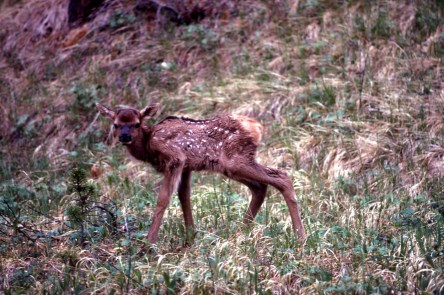 Elk Fawn. From Yellowstone National Park's website.