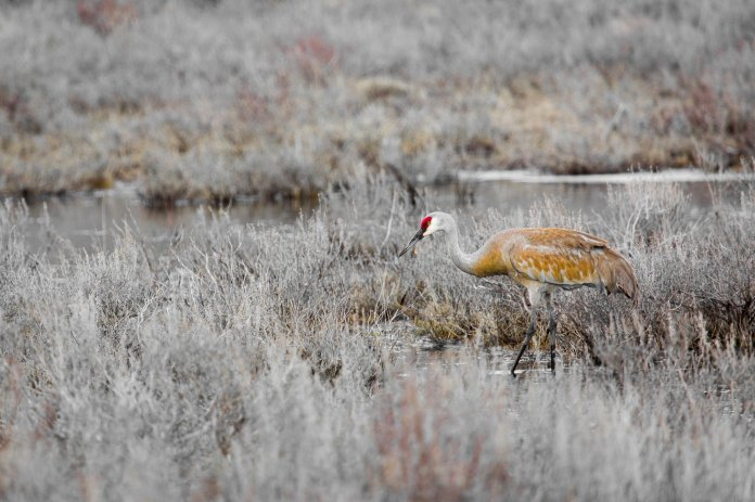 Sandhill Crane. From the Park's Facebook page.