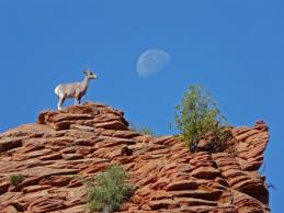Bighorn sheep, perhaps contemplating how the cow did it. Tweeted by the US Department of the Interior, 4/4/14.