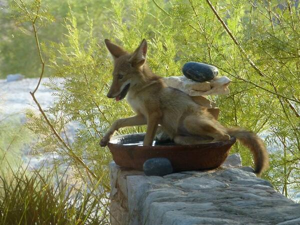 Hot hot is it? Hot enough that this coyote pup found a bird bath to cool off in Death Valley National Park. Tweeted by the US Department of the Interior, 7/10/14.