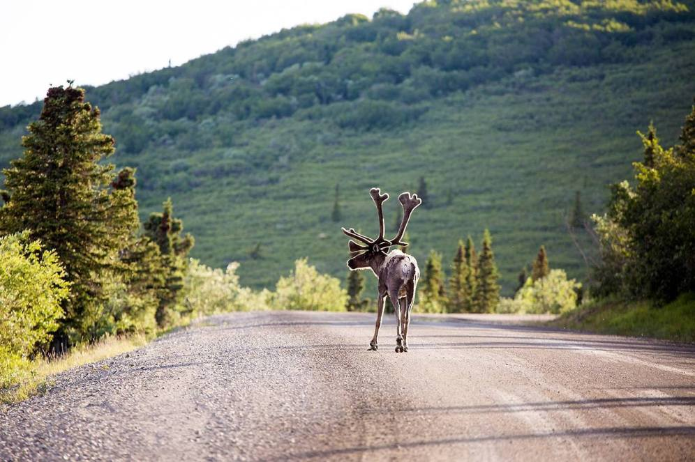 Evening traffic in Denali National Park. Photo by Daniel A. Leifheit. Posted on Tumblr by the US Department of the Interior, 7/17/14.