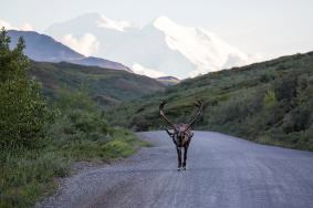 Share the road ... with caribou in Denali National Park. Photo by Daniel A. Leifheit. Posted on Tumblr by the US Department of the Interior, 8/16/14.