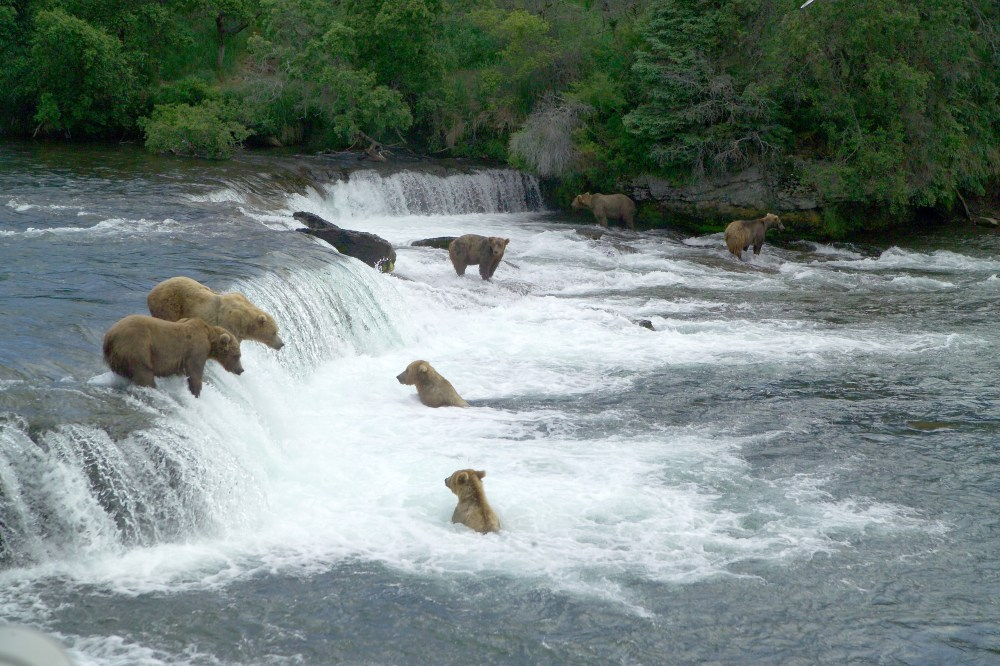 The bears of Katmai National Park. From the Park's website.