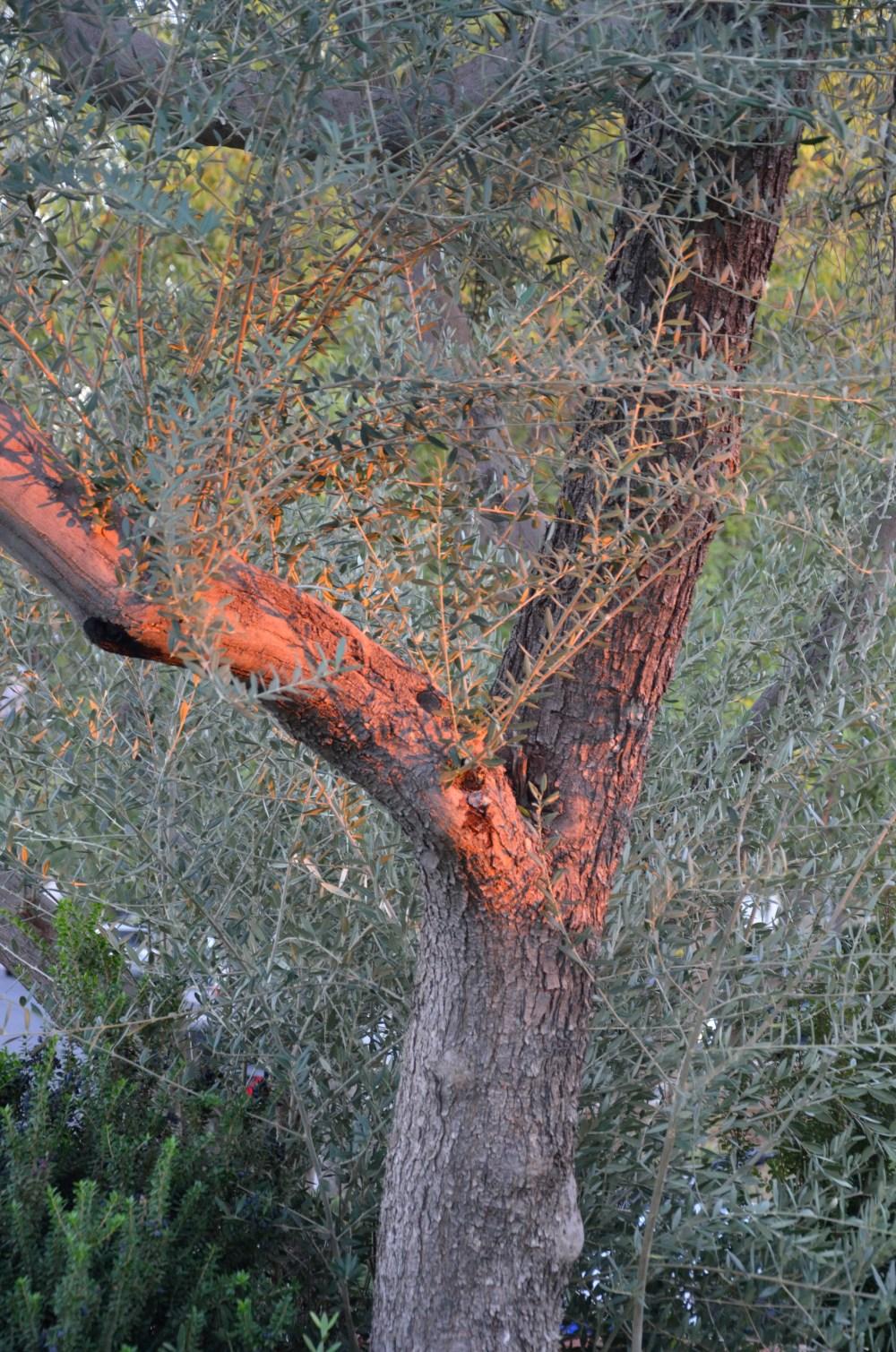 Sunset Olive Tree