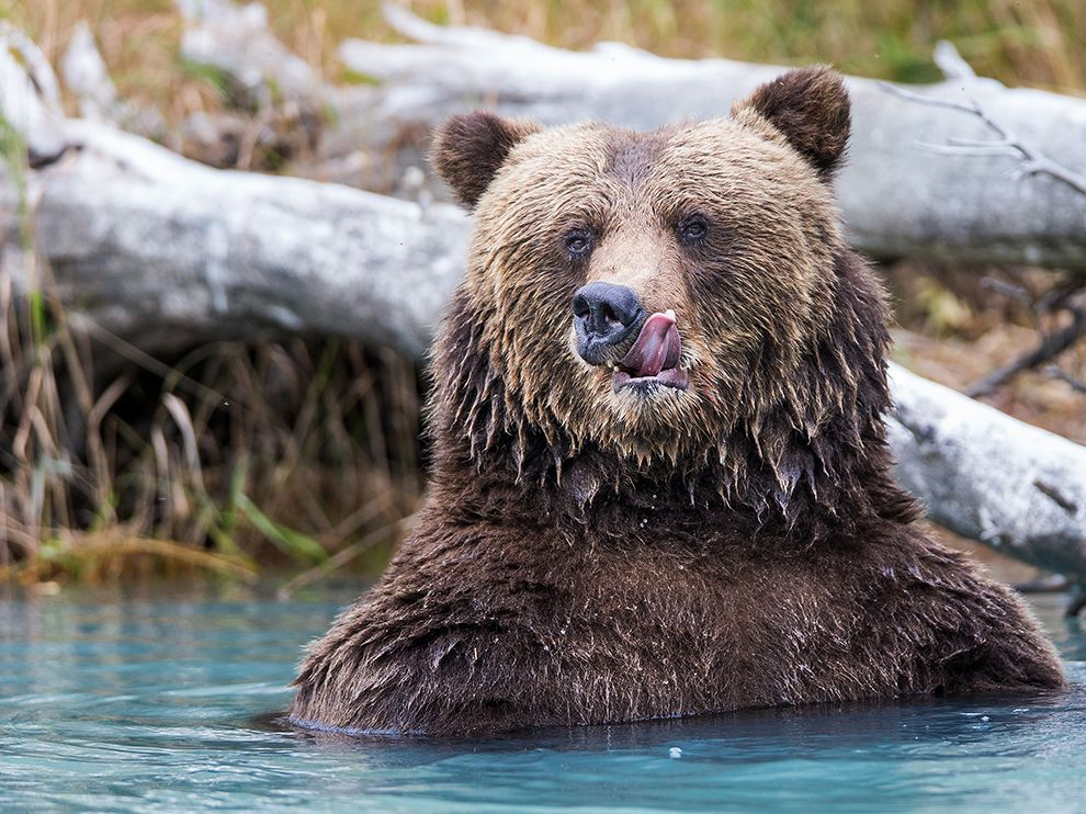 """While on a boat ride on Crescent Lake in Lake Clark National Park, Rob Daugherty captured this stunning image of a coastal brown bear that had just finished eating salmon. """"It was an epic moment to photograph him as he licked his fishy, post-meal chops,"""" says Rob. Posted on Tumblr by the US Department of the Interior, 11/26/14."""