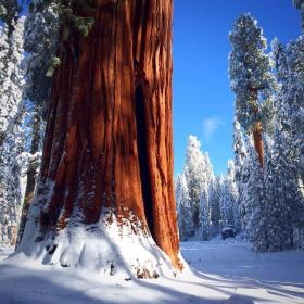 Snow on a sequoia, somewhere in SEKI ... the National Park Service designation for the Sequoia and Kings Canyon National Parks. Photo by Randy Bumgardner. Tweeted by the US Department of the Interior, 1/3/15.