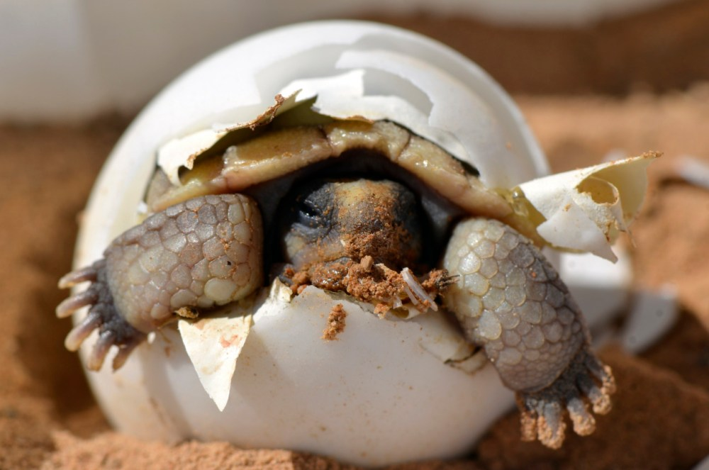 A baby desert tortoise hatches from its egg. Found north and west of the Colorado River in the Mojave Desert in California, Nevada, Arizona and Utah, the desert tortoise is one of most elusive inhabitants of the desert, spending up to 95 percent of its life underground. With a domed shell and elephant-like legs, it is easily distinguishable from its turtle cousins. Photo by U.S. Geological Survey (USGS)​ scientist K. Kristina Drake. Posted on Tumblr 2/20/15 by the US Department of the Interior.