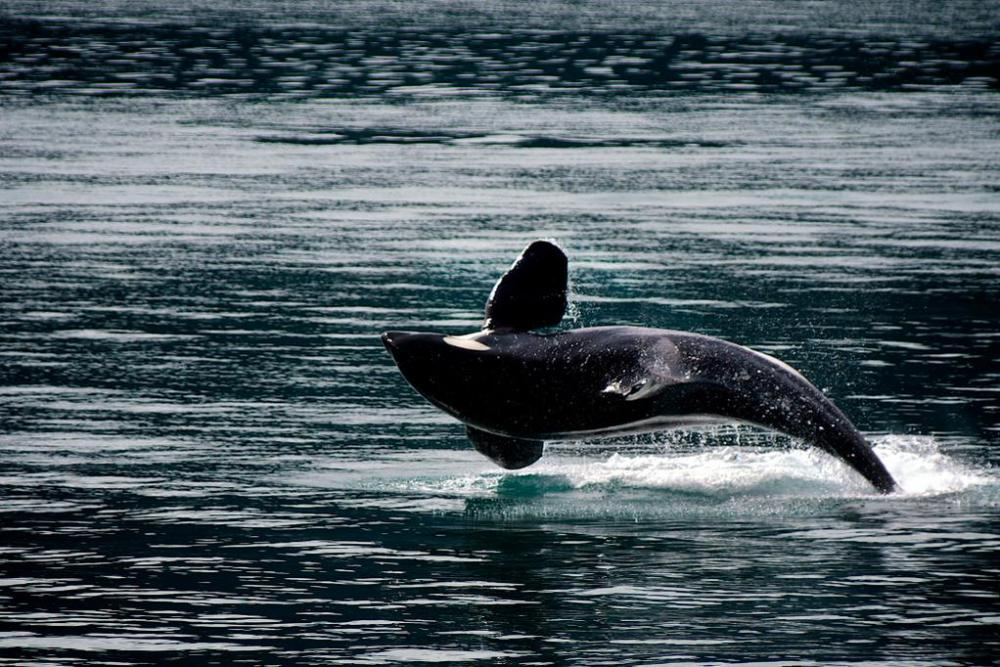 An orca breaching in Kenai Fjord National Park. Tweeted by the US Department of the Interior, 2/23/15.