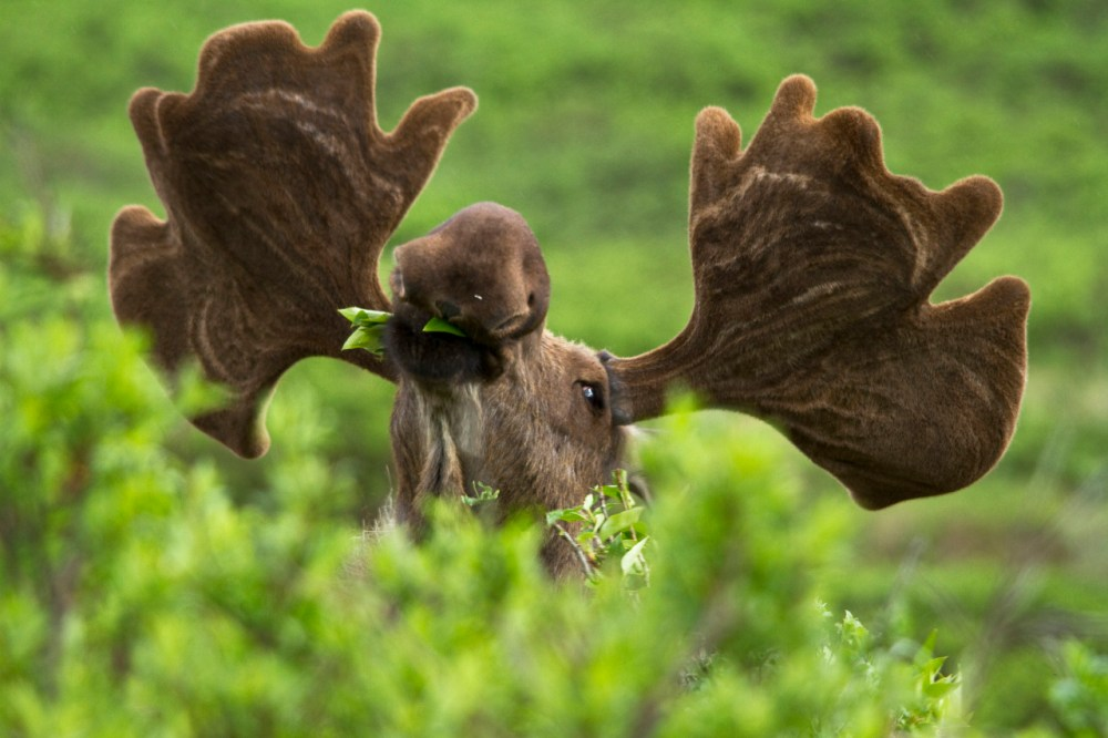 An amazing pic of a moose enjoying the delicacies at Denali National Park in Alaska. Moose in the park tend to live in forested areas that are often close to lakes and marshes and other bodies of water. They graze on grasses, underwater vegetation, bushes, coniferous needles and deciduous leaves. Photo by Jacob W. Frank, National Park Service. Posted on Tumblr by the US Department of the Interior, 3/23/15.