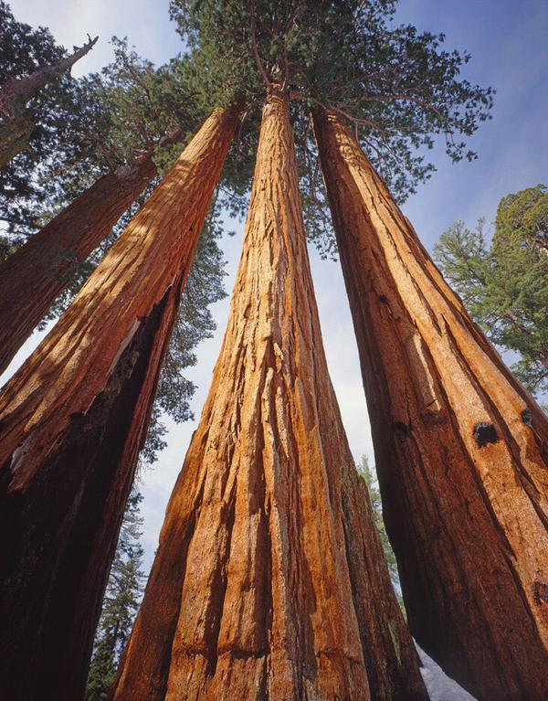 Kings Canyon is most famous, of course, for the Giant Sequoias that soar over the Park. Photo by Ed Cooper. Tweeted by the US Department of the Interior, 2/20/15.