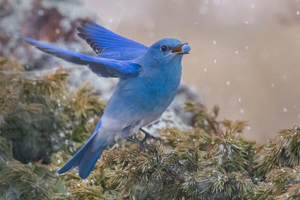The mountain bluebirds are back at Rocky Mountain National Park & that can only mean one thing. Spring has arrived! Tweeted by the US Department of the Interior, 3/14/15.
