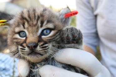 Santa Monica Mountains - Baby Bobcat 3