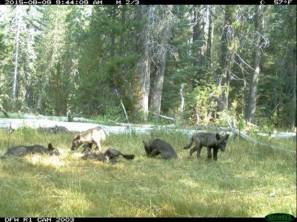 A trail camera got this shot of a wolf pack in California ... the first pack seen in the Golden State in nearly a century! Tweeted by the US Department of the Interior, 8/21/15.