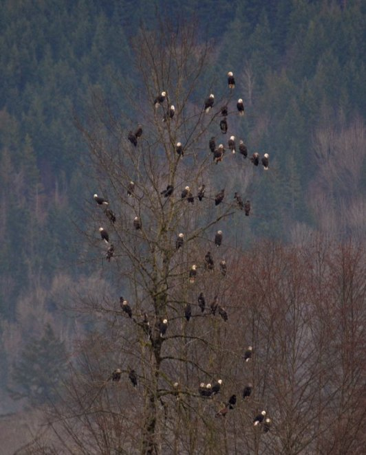 "How many bald eagles can you fit in a single tree? Apparently, at least 55! Chuck Hilliard took this pic back in 2012 along the Nooksack River near Deming, Washington. The eagles gather here for the early winter to feed on spawning chum salmon. Chuck's explanation of why there were so many eagles the tree: The eagle parents appeared to be supervising their young as they fed on the salmon. ""If an adult from outside this area flew in and harassed the young, the parental adults would fly down and run it off. It was pretty cool watching and listening,"" he said. Photo courtesy of Chuck Hilliard. Posted on Tumblr by the US Department of the Interior, 11/15/15."