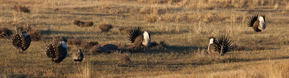 Sage Grouse, from the US Department of the Interior blog post about the Sage Grouse.