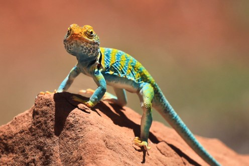 collared lizard in Dominguez-Escalante National Conservation Area in Colorado. Photo by Bob Wick. Posted on Tumblr by the US Department of the Interior, 10/21/15.