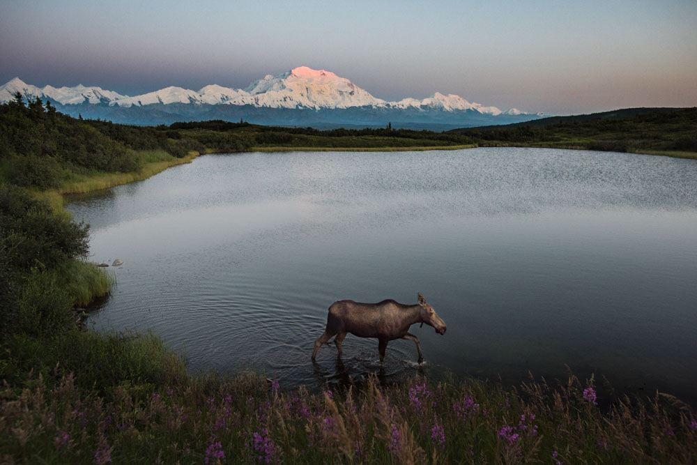 Summer sunsets at Denali National Park in Alaska are truly special. Kent Miller snapped this dream-like photo of a moose walking along Reflection Pond back in July. In the background, the top of Denali is illuminated by the setting sun at midnight. Photo by Kent Miller, National Park Service. From the US Department of the Interior blog, 10/19/15.