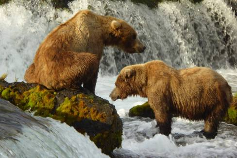 Bears fishing at the falls in Katmai National Park & Preserve are an internet sensation, with Bearcams set up so adoring fans can follow the action live throughout the summer. From the Park's Facebook page.